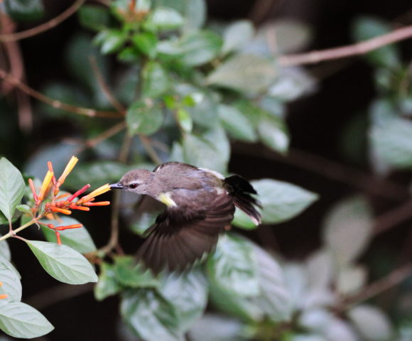 Birds Through Window – Purple Rumped Sunbird