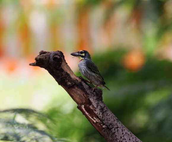 Birds Through Window – Coppersmith Barbet