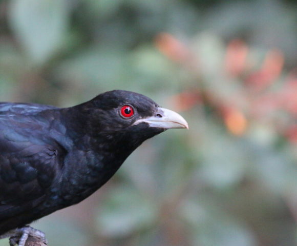 Birds Through Window – Koel