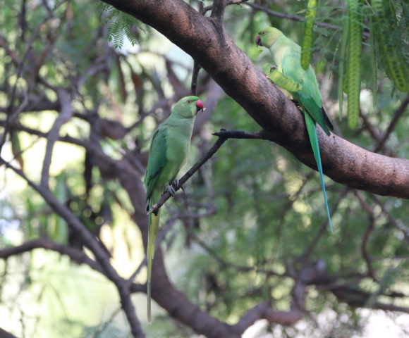 Birds Through Window – Rose Ringed Parakeets (Parrot)